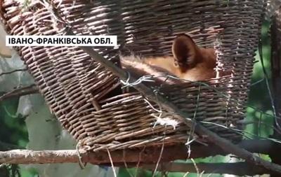 В Прикарпатье лисиц поселили на деревьях