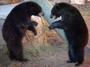 Би-би-си: Медведи не агрессивны и не любят мед