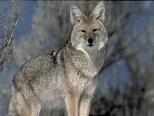 В Донецкой области волк напал на людей
