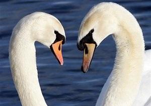Загадка для британских орнитологов: Лебедь вернулся из России с другой самкой