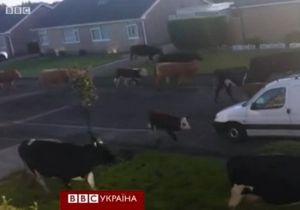 Корови шокували мешканців міста