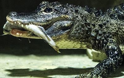 Из китайского зоопарка сбежали 78 крокодилов