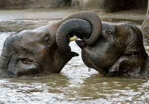 Ученые: Индийские слоны часто меняют своих друзей