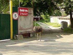В поселке под Киевом разгуливает страус