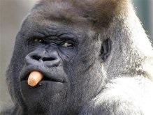 Старейшую в неволе гориллу пришлось усыпить