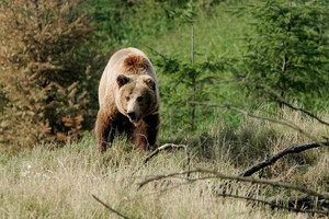 Английских фанатов предупредили о нападениях медведей во время ЧМ в России