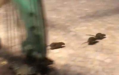 Париж наводнили крысы из-за разлива Сены