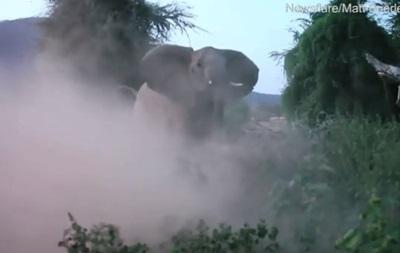 Бой слонихи со львом попал на видео
