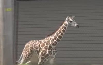 В США жираф сбежал из зоопарка