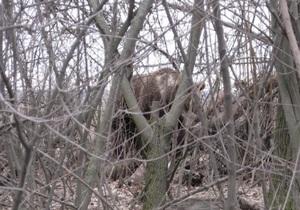 Медведицу, бродившую под Луцком, отправили в зоопарк