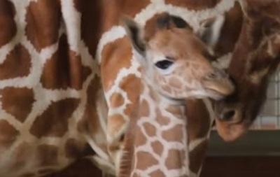 У зоопарку США показали новонародженого жирафа