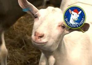Британские козы записали рождественский гимн