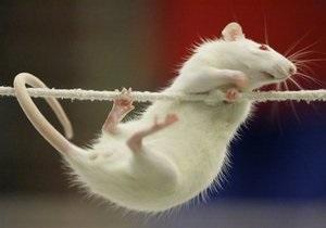 В Австралии британский телеканал оштрафовали за убийство крысы в эфире телешоу