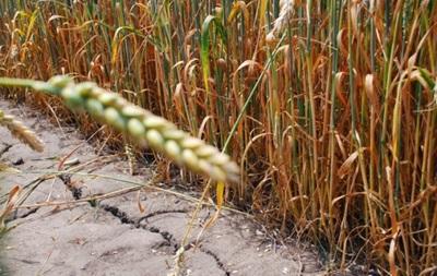 Урожай пшениці буде меншим через посуху - синоптики