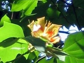 В столичном ботсаду расцвело тюльпановое дерево, которое исполняет желания