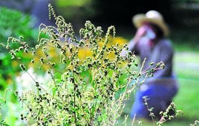 Українців-алергіків попередили про активність амброзії