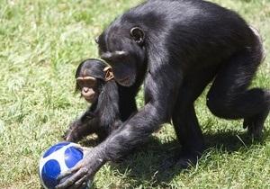 Новости науки - шимпанзе - проблема памяти: Автобиографическая память шимпанзе и орангутангов практически не отличается от человеческой