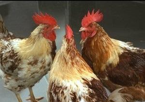 Британские ученые раскрыли загадку цыплят-гермафродитов