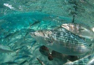 В Черное море вернулся исчезнувший в прошлом веке вид рыб