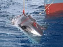 Экологи спасли сотни китов от забоя