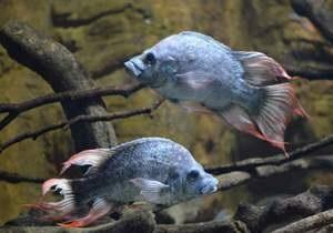 Новости науки - экосистема Земли: Британский зоопарк ищет подругу для троих мужских особей вымирающего вида рыб