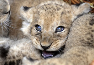 В Одесском зоопарке родилось четверо львят