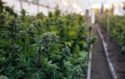 Новая Зеландия легализовала марихуану для медицинских целей