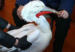 В Керчи спасли обледеневшего пеликана
