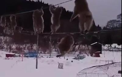 Макаки в Японии боятся снега и ходят по проводам
