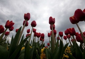 В Киеве на Певческом поле пройдет выставка тюльпанов