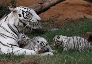 В Индии туристам разрешили посещать тигровые заповедники