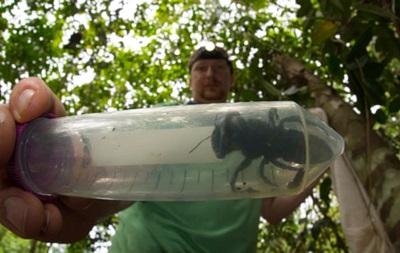 В Індонезії знайшли велетенську бджолу, яку вважали вимерлою