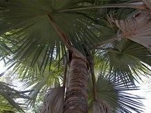 На Мадагаскаре обнаружена гигантская пальма-самоубийца