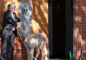 Австралиец привел домашнюю альпаку знакомиться с полицейскими