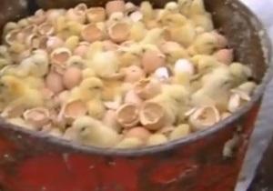 В России оштрафовали птицефабрику, где уничтожили более миллиона цыплят