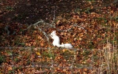 В лесу Шотландии нашли редкую белку-альбиноса
