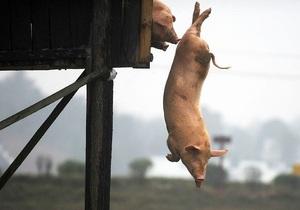 Китайский фермер заставляет своих свиней прыгать с вышки в пруд