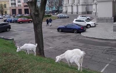 В центре Киева под министерством паслись козы