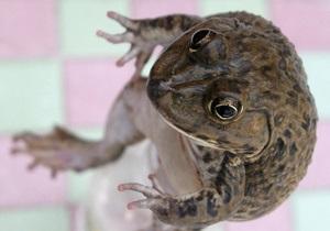 Новое исследование: распространенный гербицид превращает самцов лягушек в самок