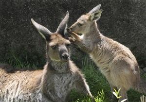 Австралия хочет продавать мясо кенгуру в Украине