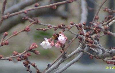 Під Києвом від аномальної температури розцвіла сакура