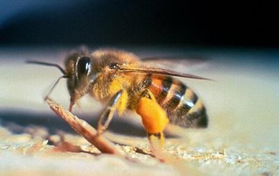 В Калифорнии из-за роя 40 тысяч пчел-убийц закрыли улицу