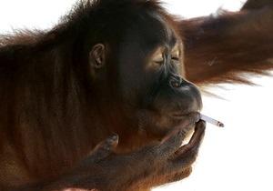 Орангутан из индонезийского зоопарка бросает курить
