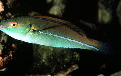 Викиди з АЕС притягнули тропічних риб у Японське море