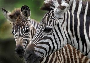 Пожар в рижском зоопарке: Погибли страусы, зебры и антилопа