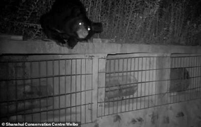 Ведмідь заліз на пасіку і крав мед з вуликів