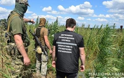 Под Мариуполем в кукурузе спрятали больше 20 тысяч кустов конопли