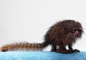 Фотогалерея: Крошка-мартышка. Карликовые игрунки – самые маленькие из обезьян