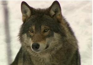 Охота на волков в Швеции: как это было - видео