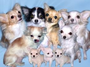 В Бельгии неизвестные похитили из магазина полсотни щенков чихуахуа